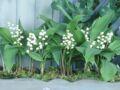 Comment replanter du muguet en pot ?