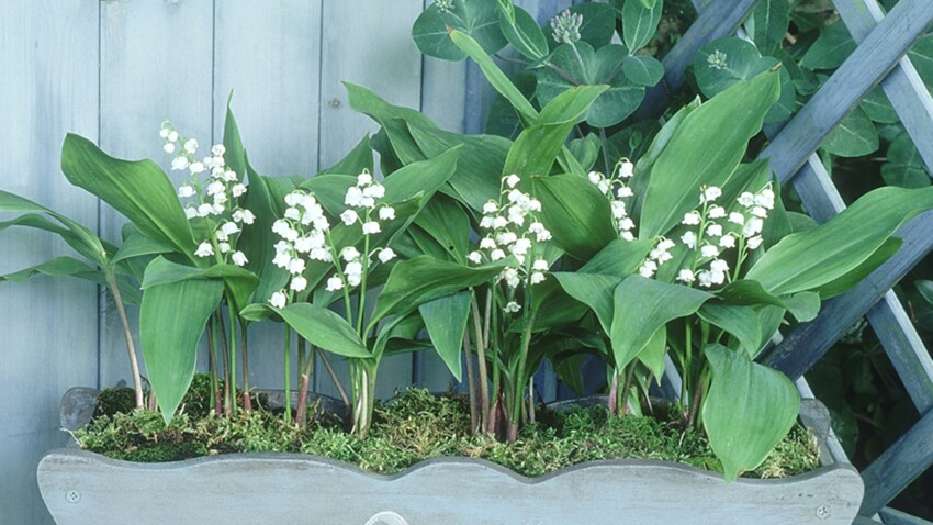 Comment replanter du muguet en pot ?