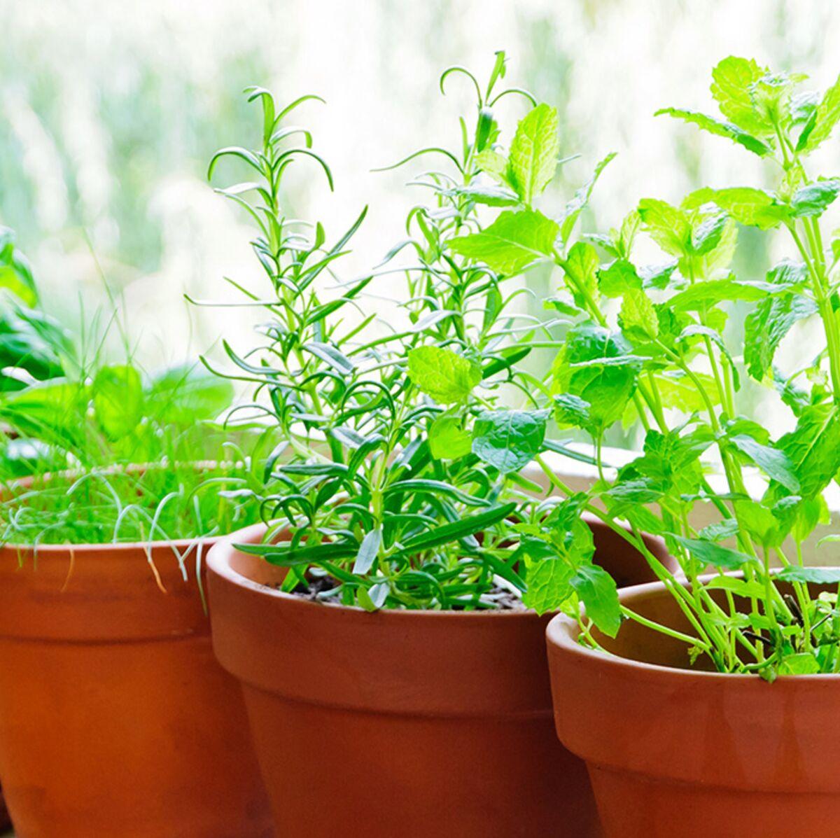 Comment Bien Faire Pousser Du Basilic comment faire pousser des herbes aromatiques ? : femme