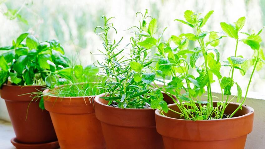 Comment faire pousser des herbes aromatiques ?