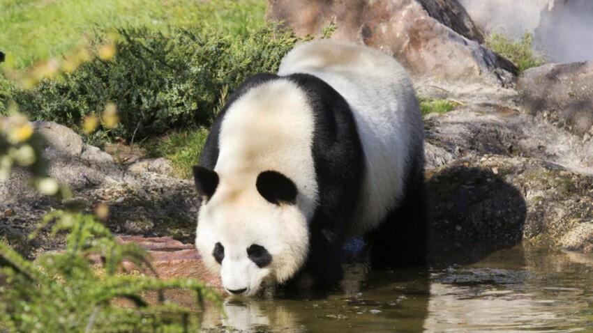 Naissance annoncée d'un bébé panda au zoo de Beauval