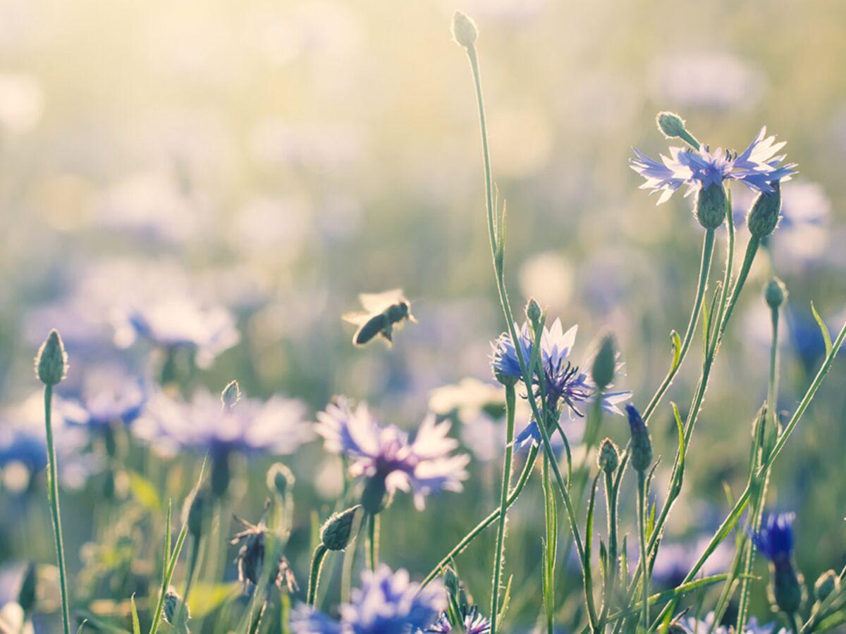 Planter Des Coquelicots Dans Son Jardin comment attirer les abeilles au jardin ou sur son balcon