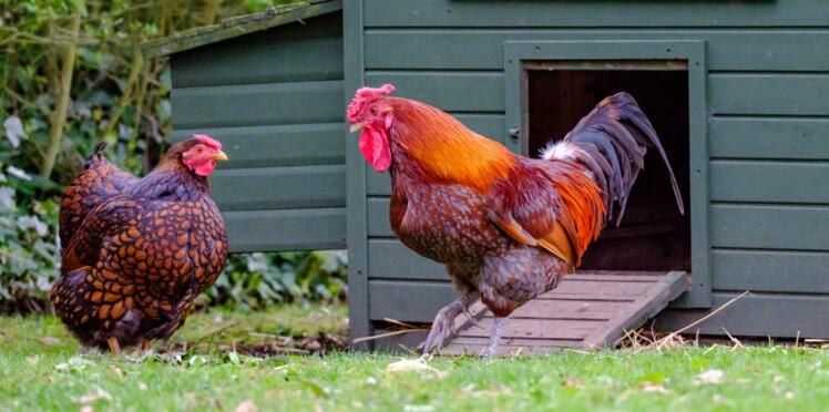 Et si j'achetais une poule ?