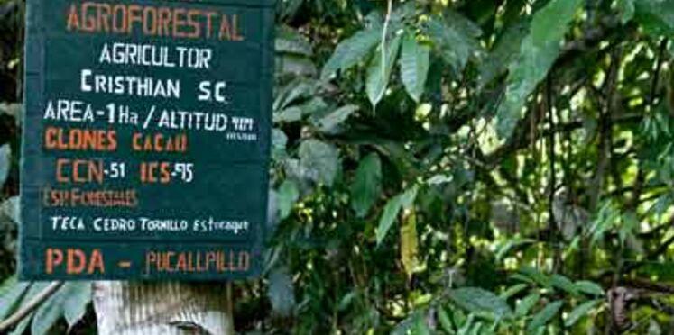 Coca, cacao... et reforestation au Pérou