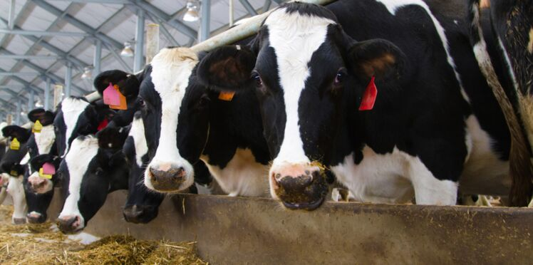 """Fermes des """" mille vaches"""", pourquoi elles font polémique"""