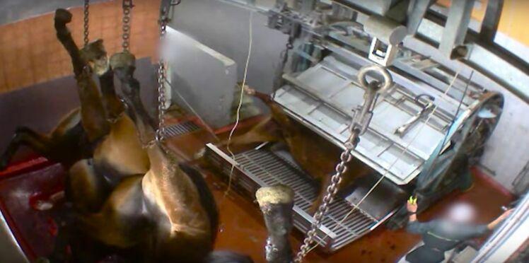 L'horreur dans les abattoirs: de nouvelles images insoutenables