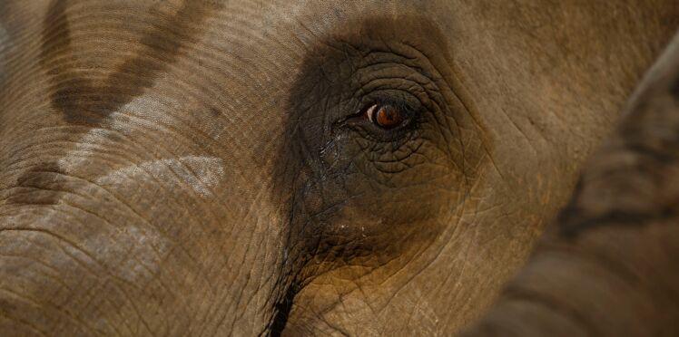 Le cœur brisé après un chagrin d'amour, un éléphant détruit 19 voitures