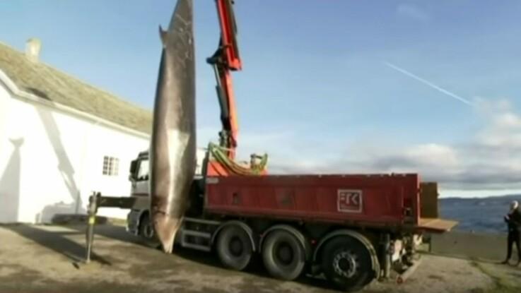 Une baleine abattue à cause des sacs en plastique contenus dans son estomac