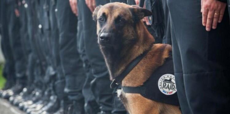 Diesel, la chienne du RAID tuée dans l'assaut de Saint-Denis