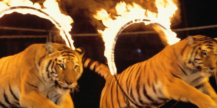 Faut-il interdire les spectacles d'animaux au cirque? La polémique enfle