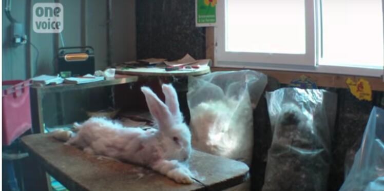 Vidéo : les élevages de lapin angora pointés du doigt