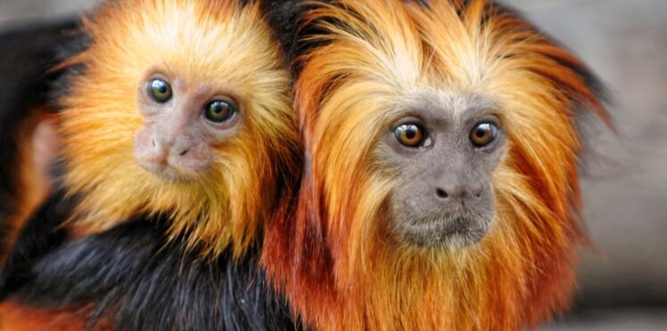 Zoo de Beauval : mobilisation sur le web après le vol de 17 singes rares