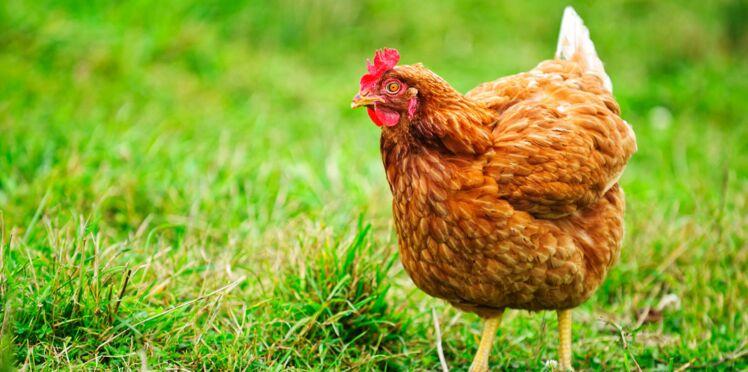 Un homme condamné pour relations sexuelles avec…une poule
