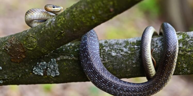 Un homme hospitalisé après avoir tenté de prendre un selfie avec un serpent