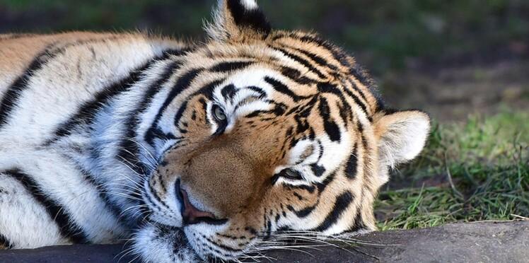Un tigre abattu au fusil à pompe en plein Paris