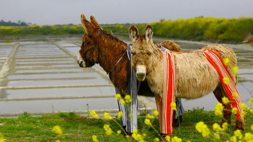L'âne, l'animal chouchou de nos campagnes
