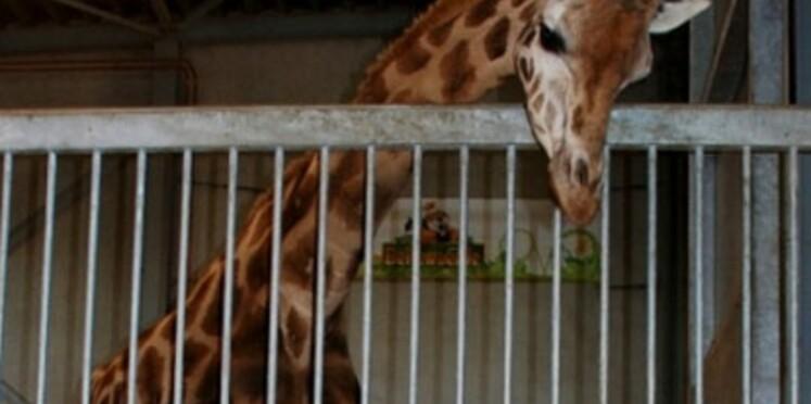 Bienvenue au bébé girafe