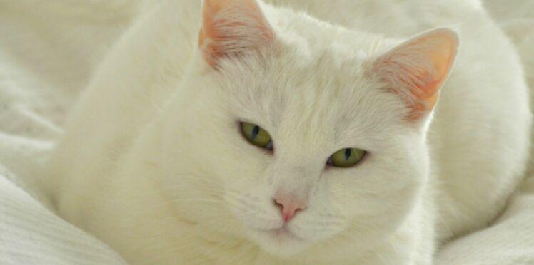 Le chat idéal, c'est quoi exactement ?