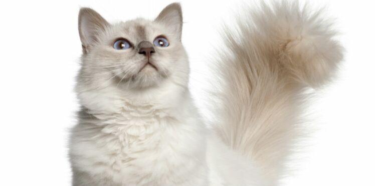 Le top 3 des chats de race