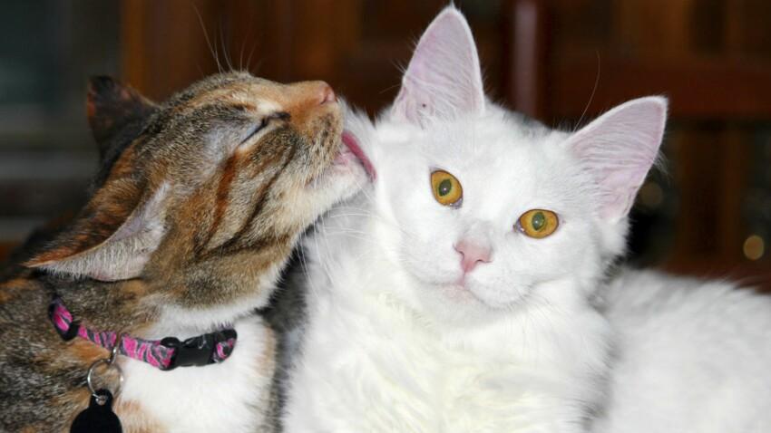 Chats de race et chats de gouttière, quelles différences ?