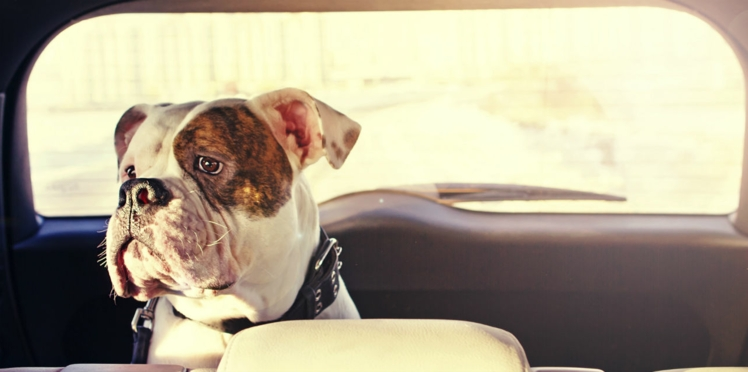Chien et chat en voiture, nos conseils pour faire bon voyage
