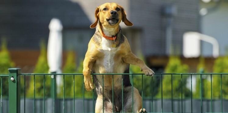 Pourquoi un chien fugue-t-il ?