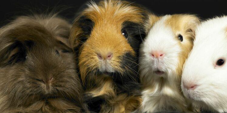 10 idées reçues sur le cochon d'Inde