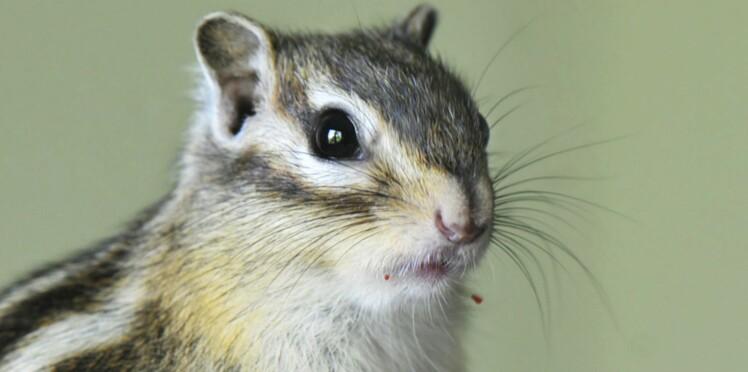 Tout savoir sur l'écureuil de Corée