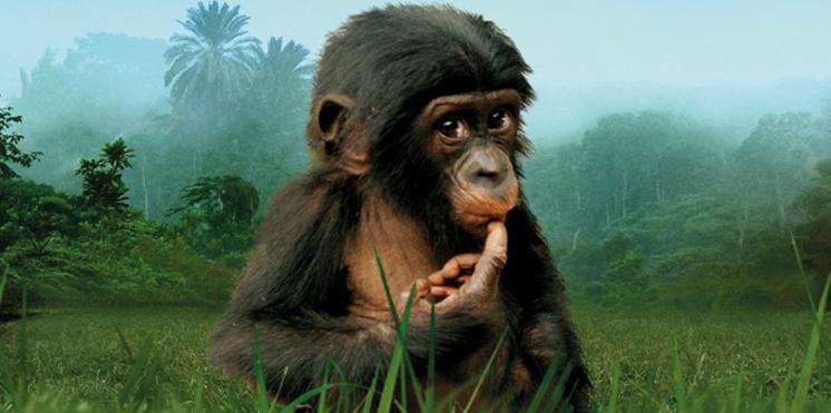 Bande annonce du film sur les bonobos