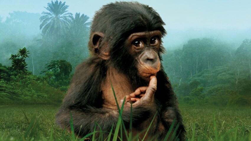 Un film sur les bonobos, des singes en voie de disparition