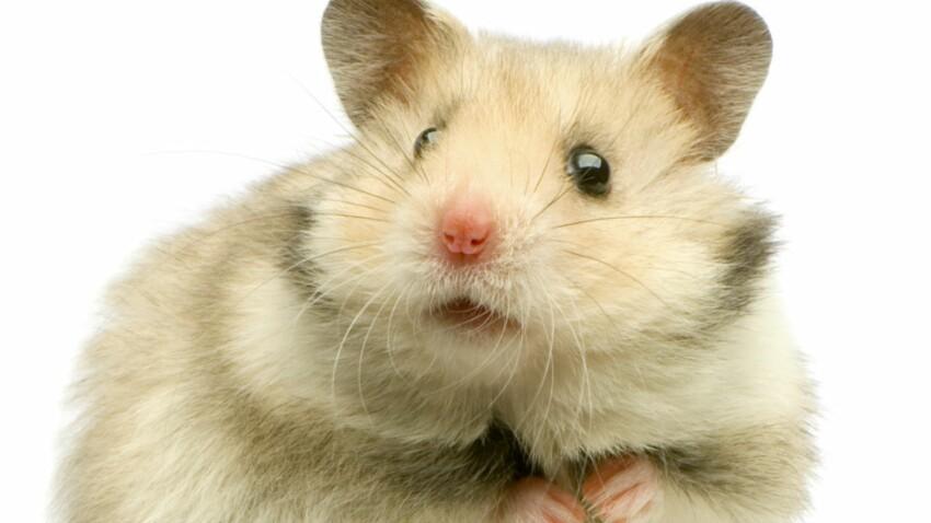 Je décode les attitudes de mon hamster