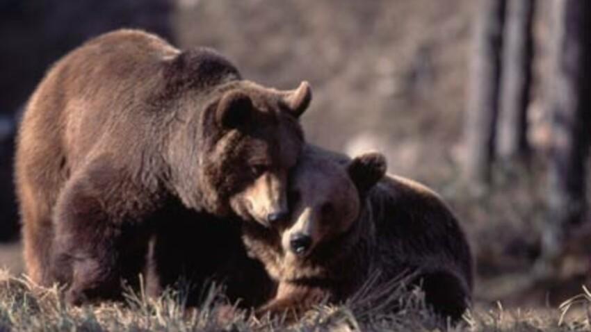 L'ours sort de l'hiver