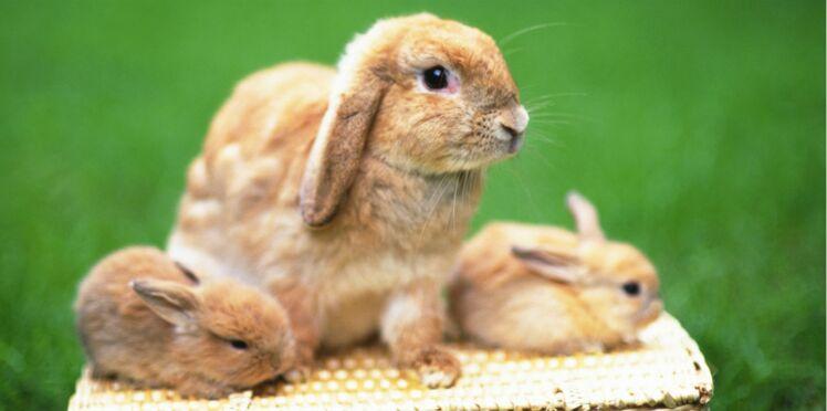 Est-ce que le lapin nain est un vrai compagnon ?