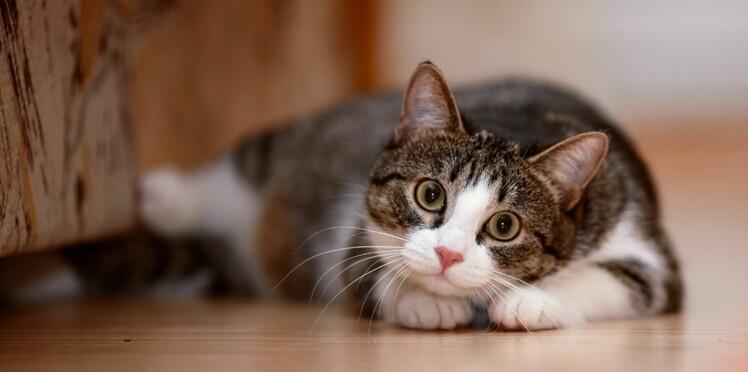 Les chats ont des sens bien affûtés !