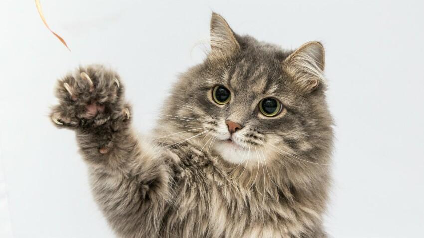 Les griffes du chat, c'est toute une histoire !