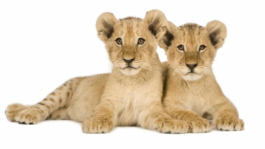 Naissance de 3 lionceaux au parc zoologique de Paris