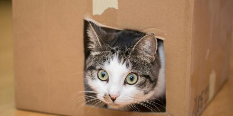 Pourquoi les chats adorent-ils les boîtes ?