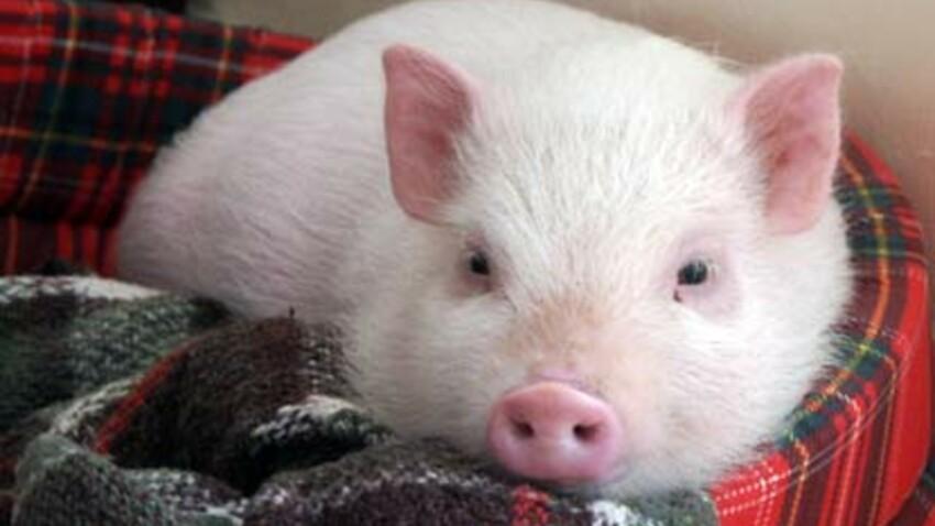 Un cochon à la maison