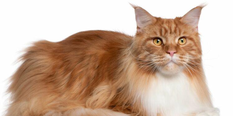 11 chiffres insolites sur les chats de race