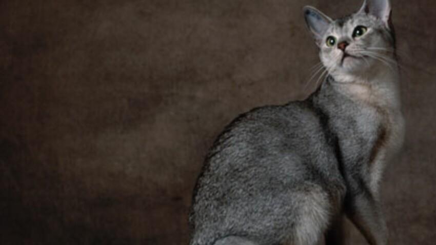 L'abyssin l'antique chat des pharaons