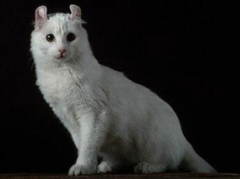 L'american curl : le chat aux oreilles en croissants de lune