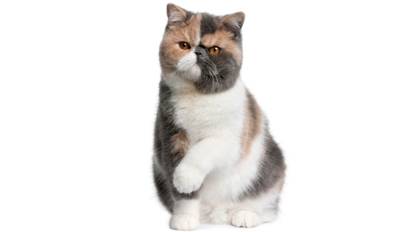 L'exotic shorthair : une chat tout en rondeurs