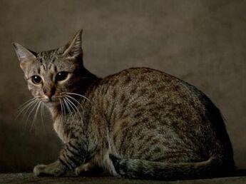 L'ocicat  un chat élégant à la robe mouchetée