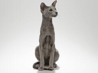 L'oriental, un chat filiforme