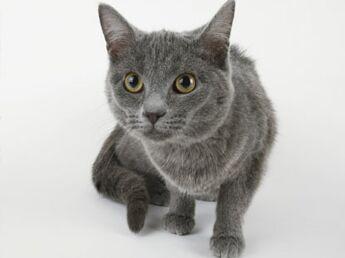 Le bleu russe, un chat au charme slave