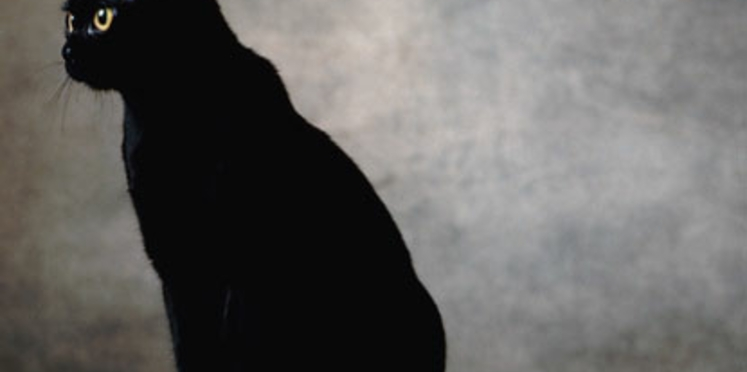Le bombay : un chat aux allures de panthère