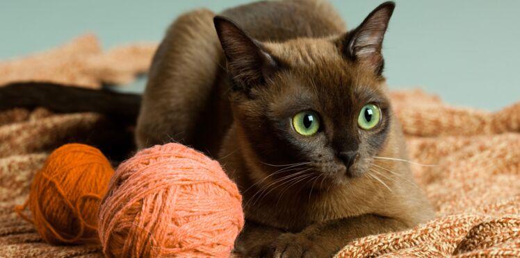 Le burmese, un chat doux comme de la soie