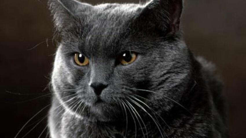 Le chartreux : un chat aux airs de nounours