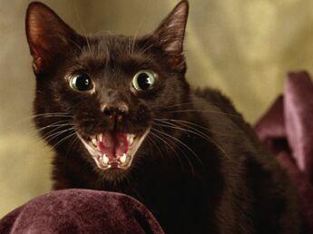 Le havana un beau chat brun aux yeux verts