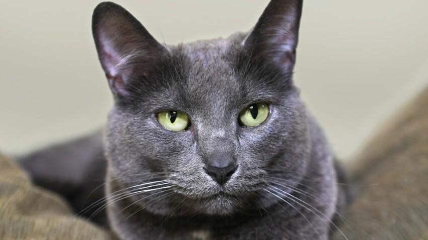 Le korat, un chat aux yeux de jade